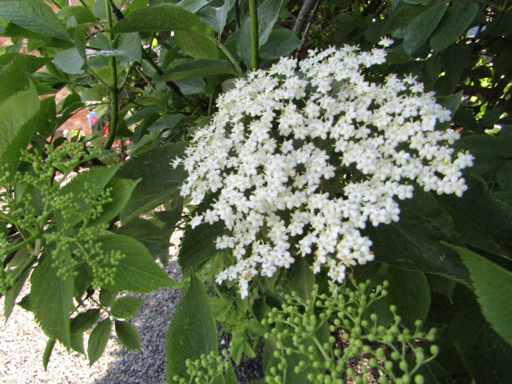 elderflower cordial recipe, how to make, summer recipes, elderflower, easy, best